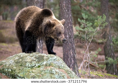 big female of brown bear (Ursus arctos) in winter forest, Bear stand on a rock, Europe, Czech republic - stock photo