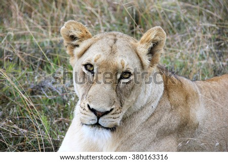 Big female staring in dense grassland, National Park in the South Africa, close-up portrait, Animals and Nature Concept, outdoors - stock photo