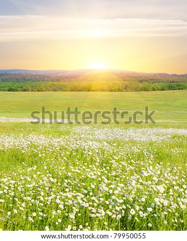 Big field of flowers on sunrise. Composition of nature. - stock photo