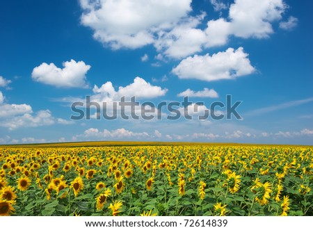 Big field of sunflowers. Composition of nature.