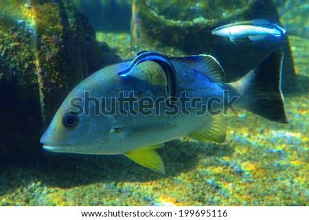 Big Fish Being Cleaned by Smaller Fish - stock photo