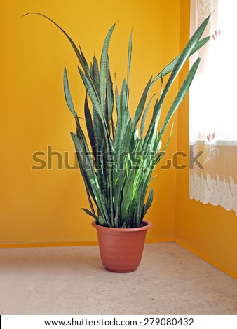 Big flower sansevieria named also  mother-in-law's tongue, devil's tongue, jinn's tongue, bow string hemp, snake plant and snake tongue      - stock photo