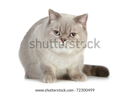 big, fluffy British cat sitting on a white background