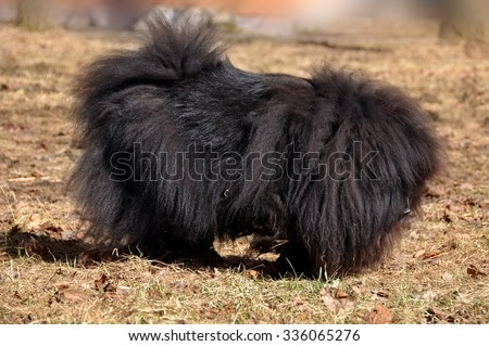 Big fluffy dog is on the dry grass. The Chow Chow is a sturdily built dog, square in profile, with a broad skull and small, triangular, erect ears with rounded tips. Dog breed originally from China