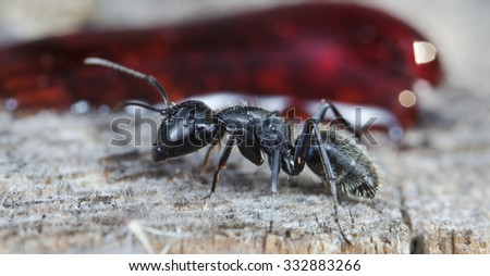 big forest ant eats strawberry jam - stock photo