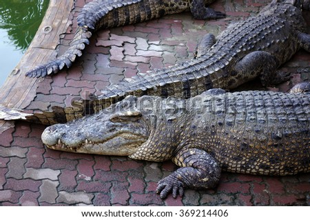 Big freshwater crocodiles in Thailand - stock photo
