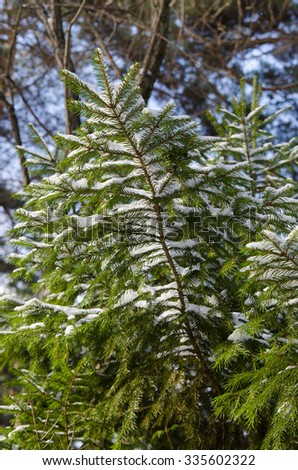 big fur-tree branch with snow - stock photo