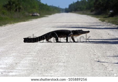 Big gator crosses Turner River Road, Big Cypress National Preserve - stock photo