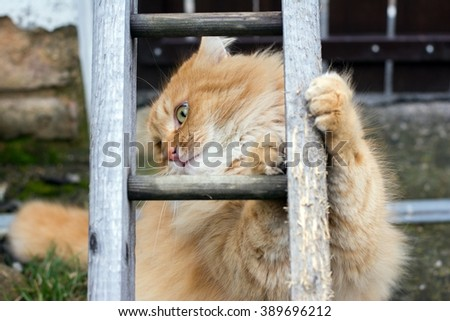 Big ginger cats sharpen claws - stock photo