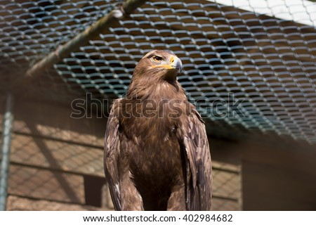 Big golden eagle in huge cage intended for resting / relaxing after his accident / diseases; bird in captive; looking sad and angry (focus on head) (Aquila heliaca) - stock photo