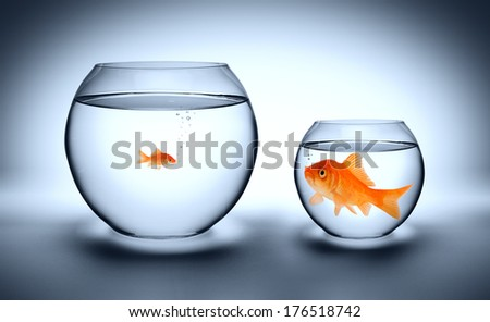 big goldfish in a small aquarium, and reverse - outgrown concept  - stock photo