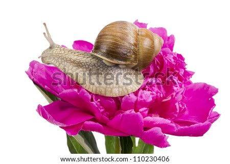 Big Grape Snail is sitting on a pink June Peony flower field with the dew drops of rain and fog. Isolated on white, art selective focus - stock photo
