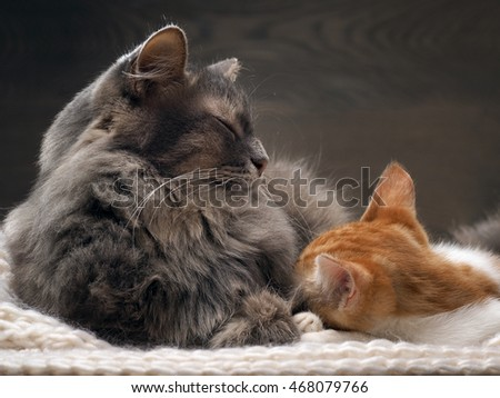 Big gray cat and a small white and red kitten lying together on a knitted rug. Cats symbol of comfort, home comfort, stability and tranquility
