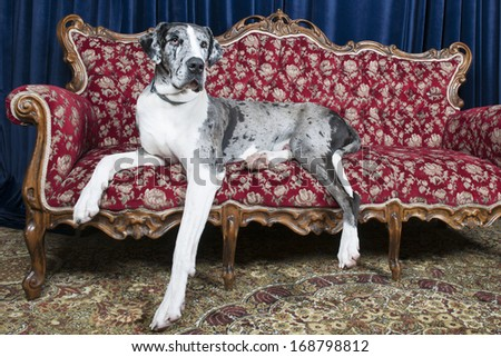 Big great dane resting on couch in studio - stock photo