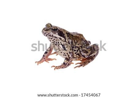 big green frog sitting on table isolated on white background
