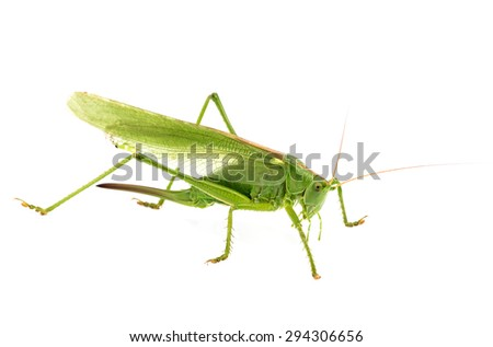 big green grasshopper isolated on white background - stock photo