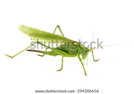 big green grasshopper isolated on white background - stock photo