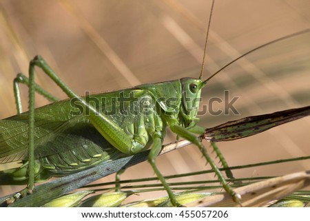 Big green Grasshopper on the Corn Spike, Macro View - stock photo
