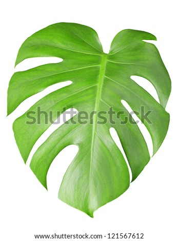 Big green leaf of Monstera plant isolated on white - stock photo