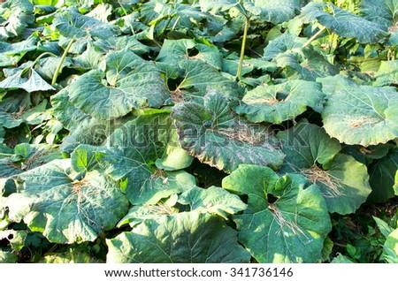 big green leaves of burdock - stock photo