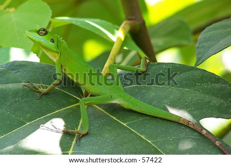 Big Green Lizard