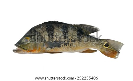 Big green peacock bass fish isolated on white background for Big mouth fish