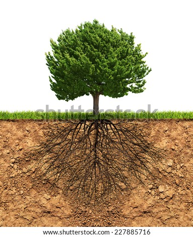 Big green tree with roots in soil beneath growth concept - stock photo
