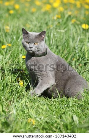 Big grey cat sitting in grass in spring - stock photo