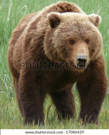 big grizzly brown bear