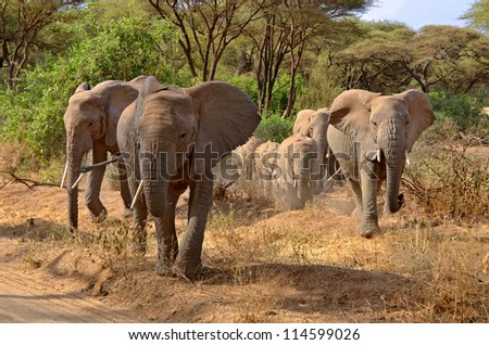 Big group of elephants walking and crossing the road in Lake Manyara National Park - stock photo