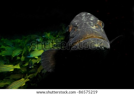 Big grouper and school of fish - stock photo