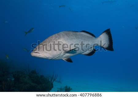 Big grouper in clear blue water. - stock photo