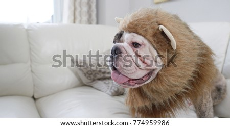 Big grumpy bulldog wearing a lion's mane costume on the couch in the living room