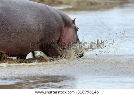 Big hippo in National park of Kenya, Africa - stock photo