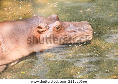 Big hippopotamus in water. - stock photo