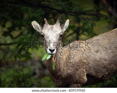 Big Horn Mountain Sheep (Ovis canadensis) yearling feeding on leaves on the upper slope of the Bow River Valley forest, near Banff, Alberta, Canada - stock photo