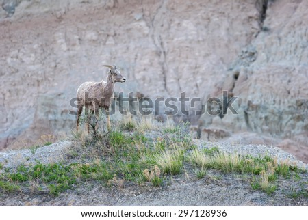 Big horn sheep in the Badlands National Park South Dakota. - stock photo