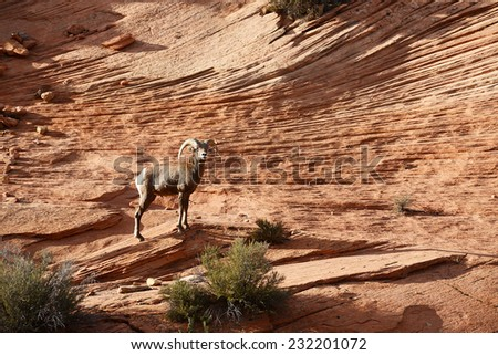 big horn sheep on a sandstone rock in east side of zion national park - stock photo