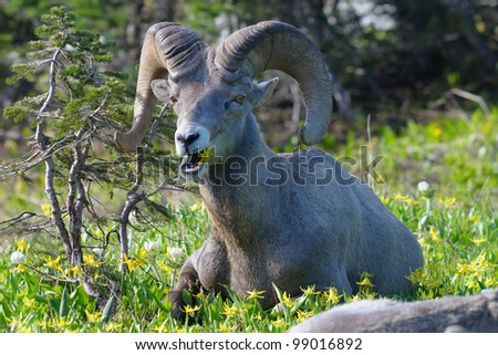 Big Horn Sheep ram chewing at Logan Pass in Glacier National Park in Montana - stock photo