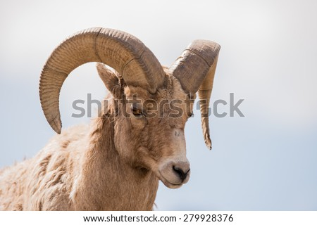 Big Horn Sheep ram full head and curl photo; landscape  - stock photo