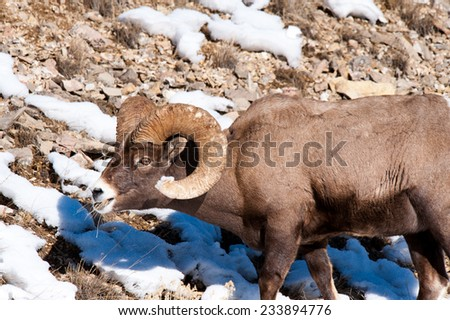 Big Horn Sheep ram grazing, surrounded by snow - stock photo