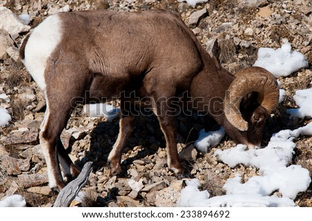 Big Horn Sheep ram grazing, surrounded by snow, full body, facing right - stock photo
