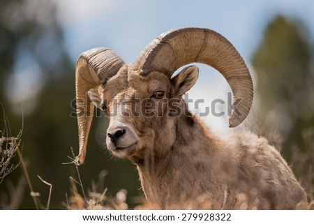 Big Horn Sheep ram looking over a ledge at photographer  - stock photo