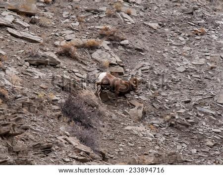 Big Horn Sheep ram running on a hill, profile - stock photo