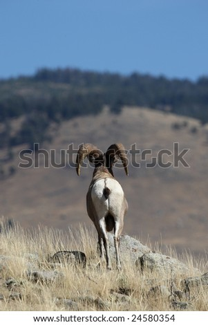 Big Horn Sheep Yellowstone National Park Looking Over Valley - stock photo