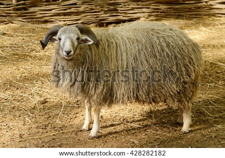 Big horned ram in the paddock. Sheep farm animal - stock photo