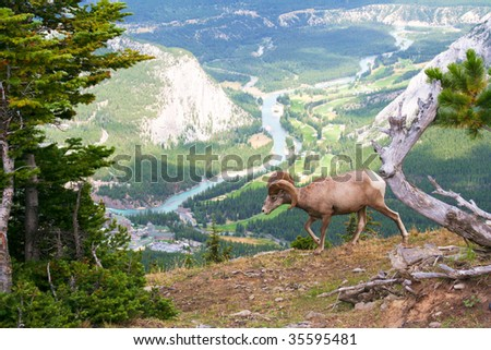 Big horned sheep in the Rocky Mountains - stock photo