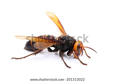 big hornet on white background - stock photo