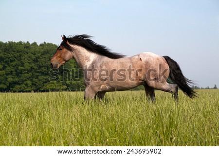 Big horse running along the pasture - stock photo