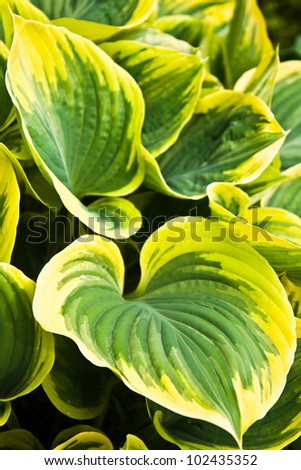 Big Hosta or Funkia leaves in spring garden - stock photo